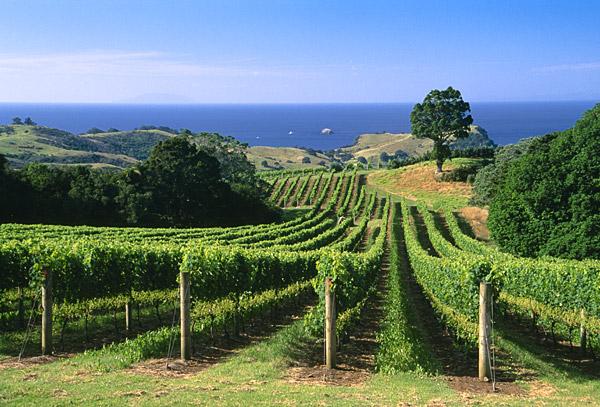 Auckland vineyard